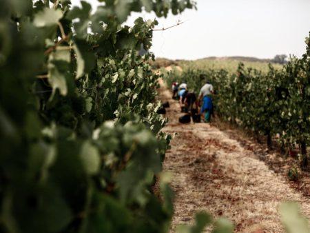 Vendimia de uva Godello en Bodegas Godelia