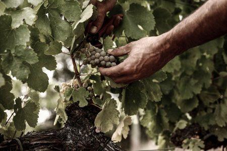 Vendimia de uva godello para nuestro vino blanco